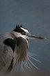 Great Blue Heron (01).jpg