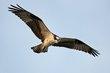 Osprey (01).jpg