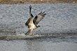 Osprey (02).jpg