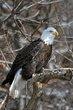 Bald Eagle (02).jpg