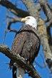Bald Eagle (03).jpg