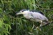 Black-crowned Night-Heron (01).jpg