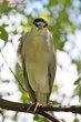 Black-crowned Night-Heron (02).jpg