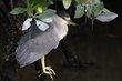 Black-crowned Night-Heron (04).jpg