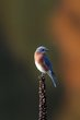 Eastern Bluebird (04).jpg