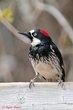Acorn Woodpecker (female) (01).jpg