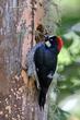 Acorn Woodpecker (female) (02).jpg