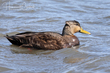 American Black Duck (02).jpg