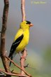 American Goldfinch (01).jpg