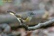American Redstart (female) (01).jpg