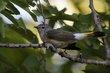 American Redstart (female) (02).jpg