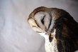 Barn Owl (03).jpg