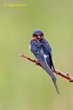 Barn Swallow (01).jpg