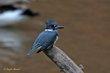 Belted Kingfisher (01).jpg