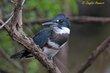 Belted Kingfisher (female) (02).jpg