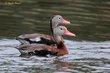 Black-bellied Whistling-Duck (01).jpg