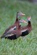 Black-bellied Whistling-Duck (04).jpg