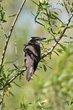 Black-billed Cuckoo (01).jpg