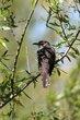 Black-billed Cuckoo (02).jpg