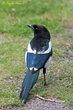 Black-billed Magpie (01).jpg
