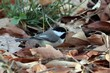 Black-capped Chickadee (02).jpg