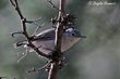 Black-capped Gnatcatcher (female) (01).jpg