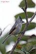 Black-crested Titmouse (01).jpg