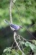 Blue Jay (02).jpg