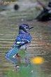 Blue Jay (03).jpg