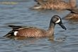 Blue-winged Teal (02).jpg