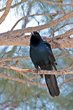 Boat-tailed Grackle (02).jpg