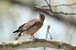 Broad-winged Hawk (01).jpg