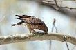 Broad-winged Hawk (02).jpg
