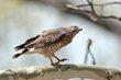 Broad-winged Hawk (03).jpg