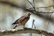 Broad-winged Hawk (04).jpg