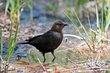 Brown-headed Cowbird (02).jpg
