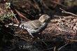 Cassins Finch (female) (01).jpg