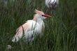 Cattle Egret (01).jpg