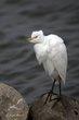 Cattle Egret (02).jpg