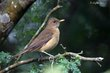 Clay-colored Thrush (01).jpg