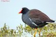 Common Gallinule (breeding plumage) (02).jpg