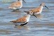 Dunlin (breeding plumage) (01).jpg
