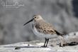 Dunlin (nonbreeding plumage) (03).jpg