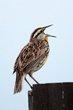 Eastern Meadowlark (03).jpg