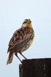 Eastern Meadowlark (04).jpg