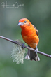 Flame-colored Tanager (02).jpg