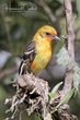 Flame-colored Tanager (immature) (01).jpg