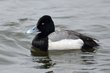 Greater Scaup (breeding plumage) (01).jpg