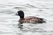 Greater Scaup (female) (02).jpg