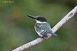 Green Kingfisher (01).jpg